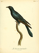 Male Coucou criard Cuculus clamosus - Black Cuckoo from the Book Histoire naturelle des oiseaux d'Afrique [Natural History of birds of Africa] Volume 5, by Le Vaillant, Francois, 1753-1824; Publish in Paris by Chez J.J. Fuchs, libraire 1799