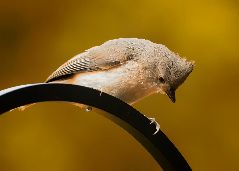 A Titmouse peeks down below to see what all the commotion is about under the bird feeder