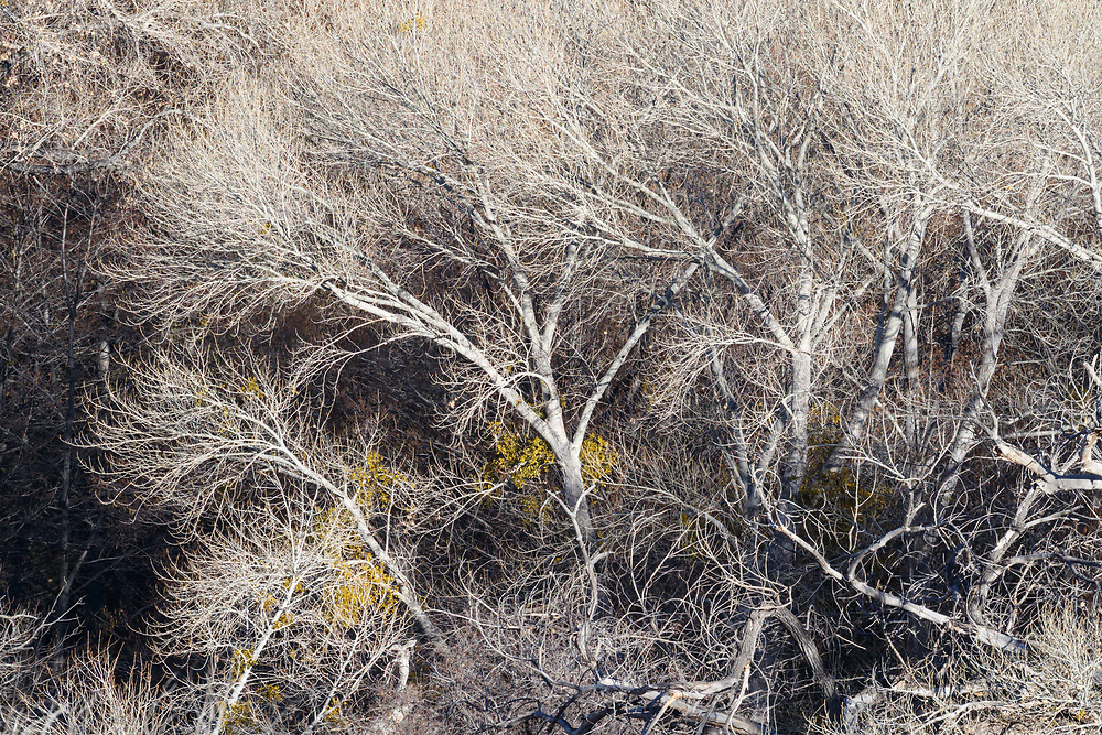 Abstract of trees in winter, Ladder Ranch, west of Truth or Consequences, New Mexico, USA.