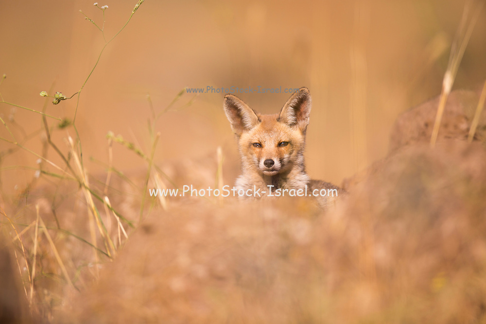 Juvenile Red Fox (Vulpes vulpes). The Red Fox is the largest of the true foxes, as well as being the most geographically spread member of the Carnivora, being distributed across the entire northern hemisphere from the Arctic Circle to North Africa, Central America, and the steppes of Asia. Photographed in Israel, in June