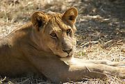 Tanzania wildlife safari lion cub