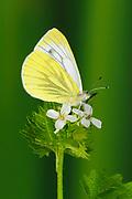 Green-veined White Butterfly (Pieris napi) feeding on wild mustard, Oxfordshire, UK.