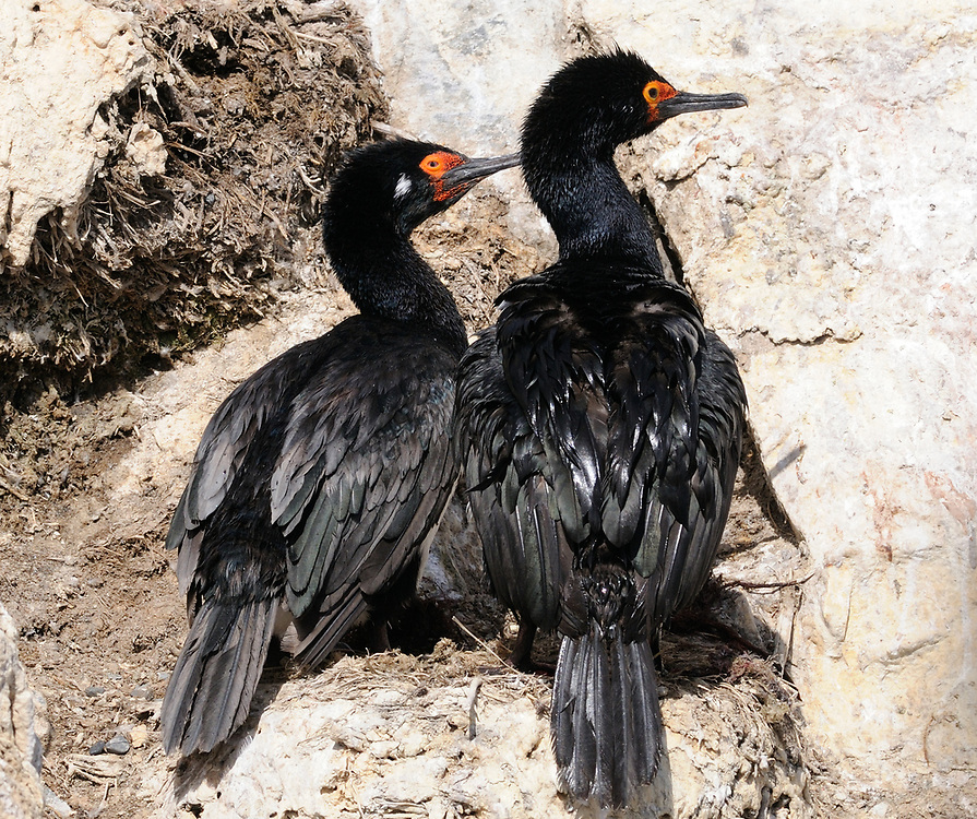Nesting  Rock Shags (Phalacrocorax magellanicus) in rocky outcrops in the Beagle Channel. Ushuaia, Argentina. 13Feb16