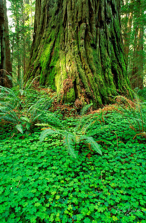 Sorrel and old growth Redwoods in the Stout Grove, Jedediah Smith Redwoods State Park, Redwood National Park, California.