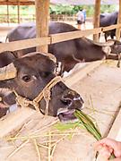 Image of a water buffalo at the Laos Buffalo Dairy, Ban Muang Khay, Luang Prabang, Laos.