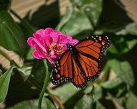 Monarch Butterfly Feeding on a Pink Zinnia Flower. Image taken with a Fuji X-H1 camera and 80 mm f/2.8 OIS macro lens (ISO 200, 80 mm, f/5.6, 1/2500 sec).