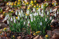 Galanthus nivalis - snowdrops - with Eranthis hyemalis - Winter aconites - in Kingscote Wood, Gloucestershire