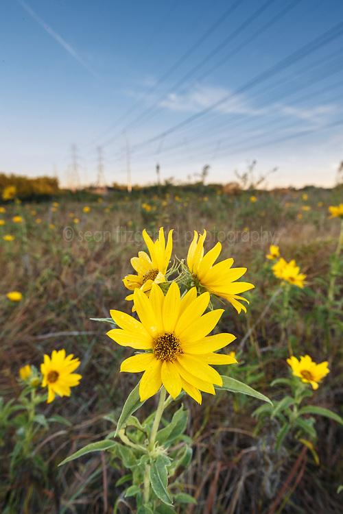 Sunflowers, Blackland Prairie remnant, Mesquite,Texas, USA