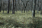 tree trunks in woods with dense Kumazasa undergrowth Japan