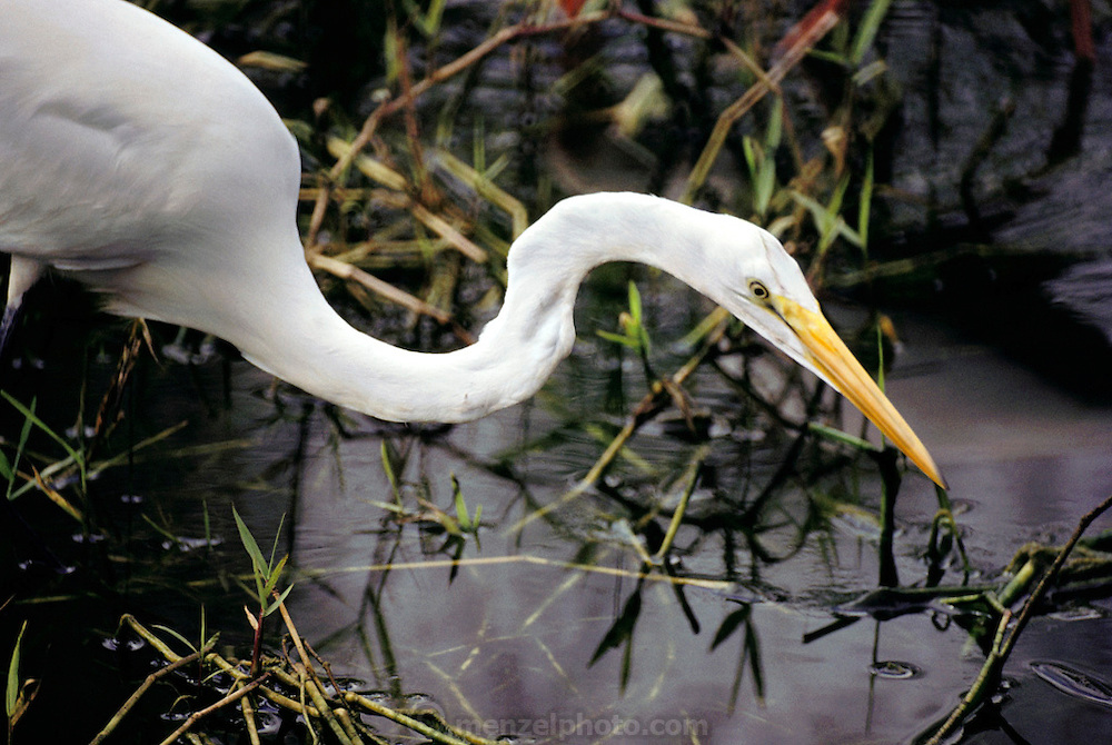 A Great White Heron feeds in the marshes of the Everglades. Florida, USA.