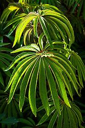 Begonia luxurians. Palm leaf begonia
