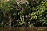 Trees<br /> Rain Forest<br /> Mapari<br /> Rupununi<br /> GUYANA<br /> South America