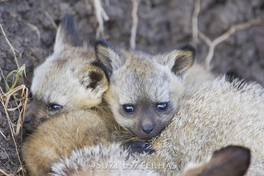 Bat-eared fox<br /> Otocyon megalotis<br /> 5 week old pup(s) resting on top of parent<br /> Masai Mara Reserve, Kenya