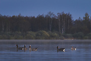 """A group of white-fronted geese (Anser albifrons) swimming in water covered floodplain, nature park """"Dvietes paliene"""", Latvia Ⓒ Davis Ulands 