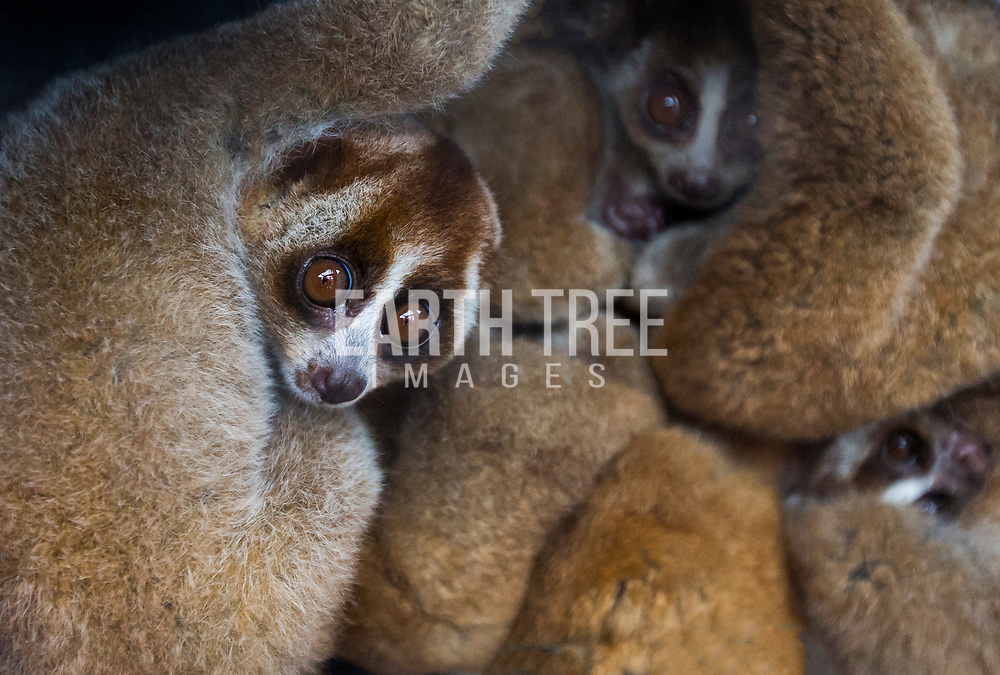 Illegally kept Slow Lorises climb around a cage on the outskirts of Kandang, South Aceh, Sumatra, Indonesia. Trade in endangered species is illegal in Indonesia, but prosecutions are rare. As forests are increasingly cut down for palm oil plantations, trafficking in wildlife is growing, according to the Sumatran Orangutan Conservation Program. Photo: Paul Hilton for Earth Tree Wild animal market, Guangzhou, China. Photo: Paul Hilton for Earth Tree Images