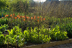 The vegetable garden. Young Peas 'Feltham First' supported by pea sticks. Tulipa 'Orange Emperor' in the background.