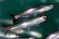 California anchovy, northern anchovy, Engraulis mordax, California, USA, Eastern Pacific Ocean (c)