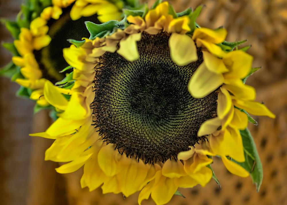 Newly bloomed sunflower in a wicker basket. Fine art photography.