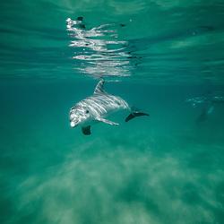 Grands dauphins de l'ocean Indien, Tursiops aduncus, Dolphins, Indian Ocean