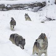 Gray wolf pack (Canis lupus) in the snowy Rocky Mountains, Montana. Captive Animal