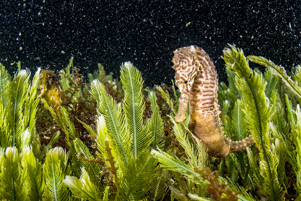 A nocturnal lined seahorse (Hippocampus erectus) clinging to algae at night in an alkaline pond called Sweeting Pond in The Bahamas.