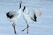 Red Crowned Crane, Grus japonensis, pair, dancing, displaying, wings open, Hokkaido Island, japanese, Asian, cranes, tancho, crested, white, black,  wilderness, wild, untamed, photography, ornithology, snow, calling
