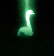 Digitally enhanced image of a white swan swimming in the Danube river, Austria