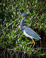 Tricolored Heron. Blackpoint Wildlife Drive, Merritt Island National Wildlife Refuge. Image taken with a Nikon D4 camera and 500 mm f/4 VR lens (ISO 640, 500 mm, f/5.6, 1/400 sec).