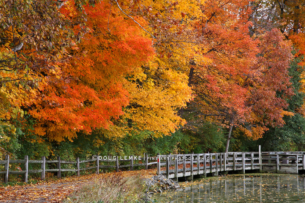 Trees Positively Ablaze With Color During Autumn In The Park, Walking Path, Fence And Pond, Sharon Woods, Southwestern Ohio