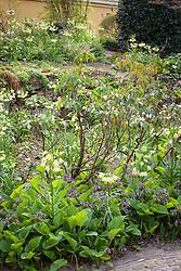 Fritillaria raddeana growing in a border. Fritillary