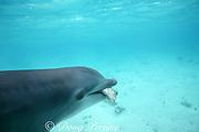 bottlenose dolphin, Tursiops truncatus, feeding on Nassau grouper, Epinephelus striatus, in rehab pen, Turks and Caicos ( Western Atlantic Ocean )