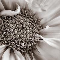 Close up of a monochrom daisy flower.