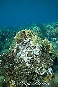 mostly bleached rice coral, Montipora capitata, covers one side of a coral head, interspersed with patches of dead coral covered by algae, while healthy lobe coral, Porites lobata, grows on the other side, during a period of unusually high seawater temperatures in 2019, off Wahikuli Park, West Maui, Hawaii, USA ( Central Pacific Ocean )
