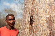 Local Man looking at Giant Madagascar hissing cockroach, Gromphadorina portentosa, on tree trunk, Reniala Nature Reserve, Ifaty, Madagascar