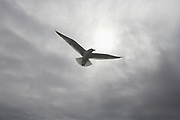 One seagull in flight in front of a hazy, overcast sky