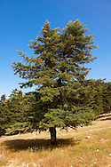 The protected Cephalonia Pine trees of Mount Ainos, Kefalonia, Ionian Islands, Greece. .<br /> <br /> Visit our GREEK HISTORIC PLACES PHOTO COLLECTIONS for more photos to download or buy as wall art prints https://funkystock.photoshelter.com/gallery-collection/Pictures-Images-of-Greece-Photos-of-Greek-Historic-Landmark-Sites/C0000w6e8OkknEb8