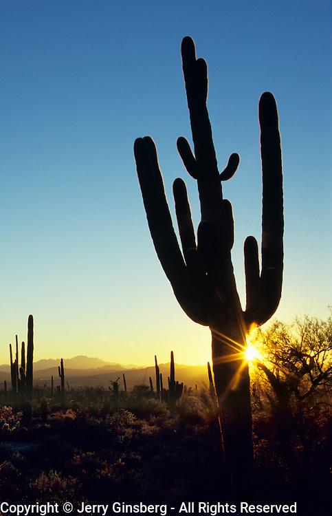 Giant saguaro cacti in Saguaro National Park, Tucson, Arizona.