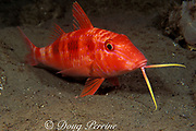 spotted goatfish or red goatfish, <br /> Pseudupeneus maculatus, <br /> using barbels to probe for food in sand<br /> Commonwealth of Dominica ( Eastern Caribbean Sea )