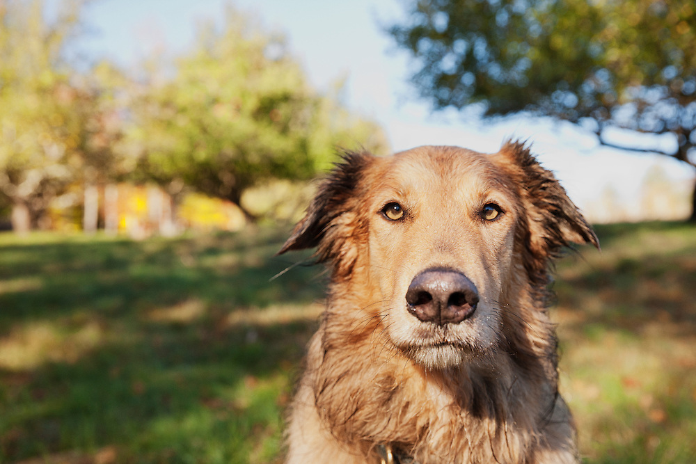 Headshot of confident collie mix looking at the camera