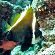 Humphead Bannerfish inhabit reefs. Picture taken Palau.