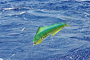 Jumping Dorado with Ballyhoo bait flying out of it's mouth.
