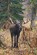 Alaskan bull moose during the autumn rut
