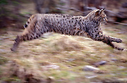 A male bobcat (Felis rufus) running at high speed.