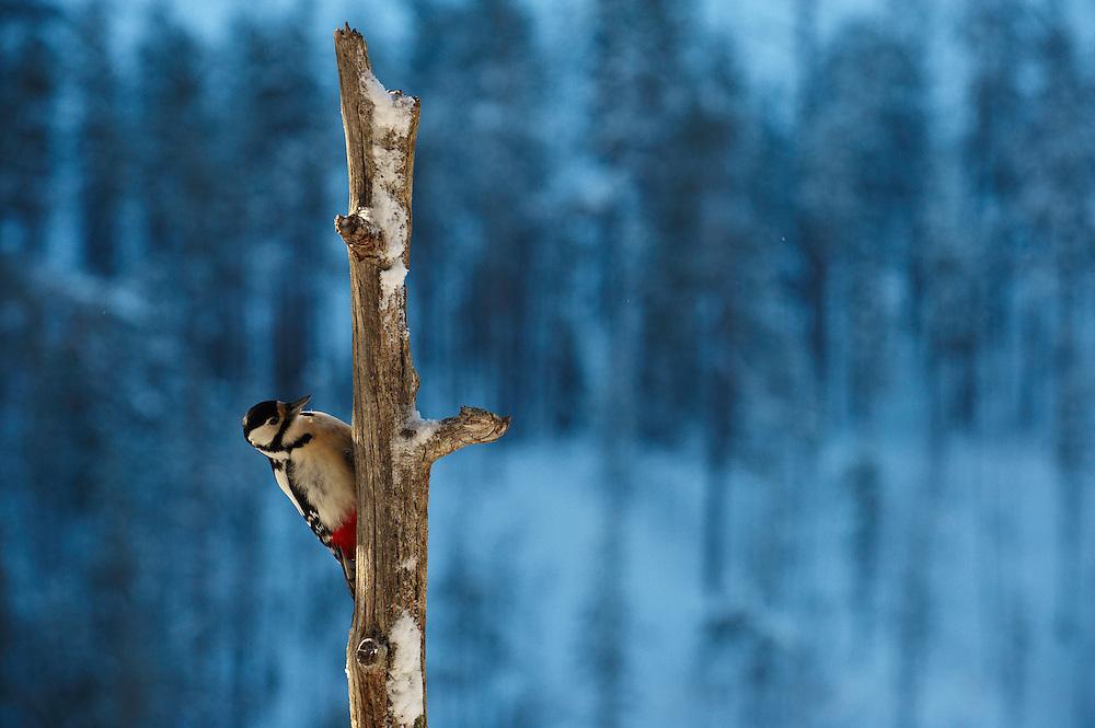 Greater Woodpecker (Dendrocopos major) and Blue tit (Cyanistes caeruleus)KOROUMA; POSIO; FINLAND 2009