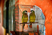 """SHOT 2/2/15 1:53:16 PM - A pair of lovebirds in a cage at a local residents home in Sayulita, Mexico. Sayulita is a village about 25 miles north of downtown Puerto Vallarta in the state of Nayarit, Mexico. Sayulita is a prosperous growing village of approximately 5,000 residents. Hailed as a popular off-the-beaten-path travel destination, Sayulita offers a variety of activities such as horseback riding, hiking, jungle canopy tours, snorkeling and fishing. Still a mecca for beginner surfers of all ages, the quaint town attracts upscale tourists with its numerous art galleries and restaurants as well. Sayulita has a curious eclectic quality and is the crown jewel in the newly designated """"Riviera Nayarit"""". (Photo by Marc Piscotty / © 2015)"""