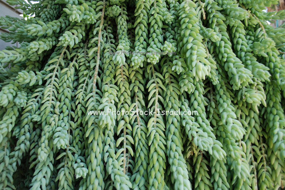 Sedum morganianum (commonly called burro's tail or donkey tail) is a succulent plant which is native to southern Mexico and Honduras. It produces long trailing stems up to 30 cm long with fleshy blue-green leaves and produces terminal, pink to red flowers.