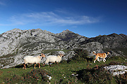 A mastiff leads sheep along a ridge into a meadow near the cheese-making hamlet of Majada de Belbin in the western area of the Picos de Europa