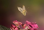 Large White Butterfly, Pieris brassicae, in flight, Garden, Kent UK, Controlled situation, flying, high speed flash techique