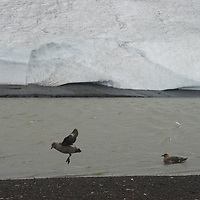 An Antarctic (Brown) Skua lands on the volcanic ash of a beach at Whaler's Bay on Deception Island, Antarctica.