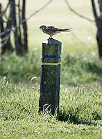 AMELAND -  Vogel (torenvalk)  op 150 meter paaltje.Amelandse Golfbaan 'De Amelander Duinen' . COPYRIGHT KOEN SUYK